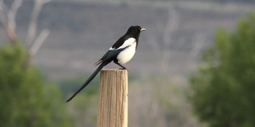 Montana Magpie